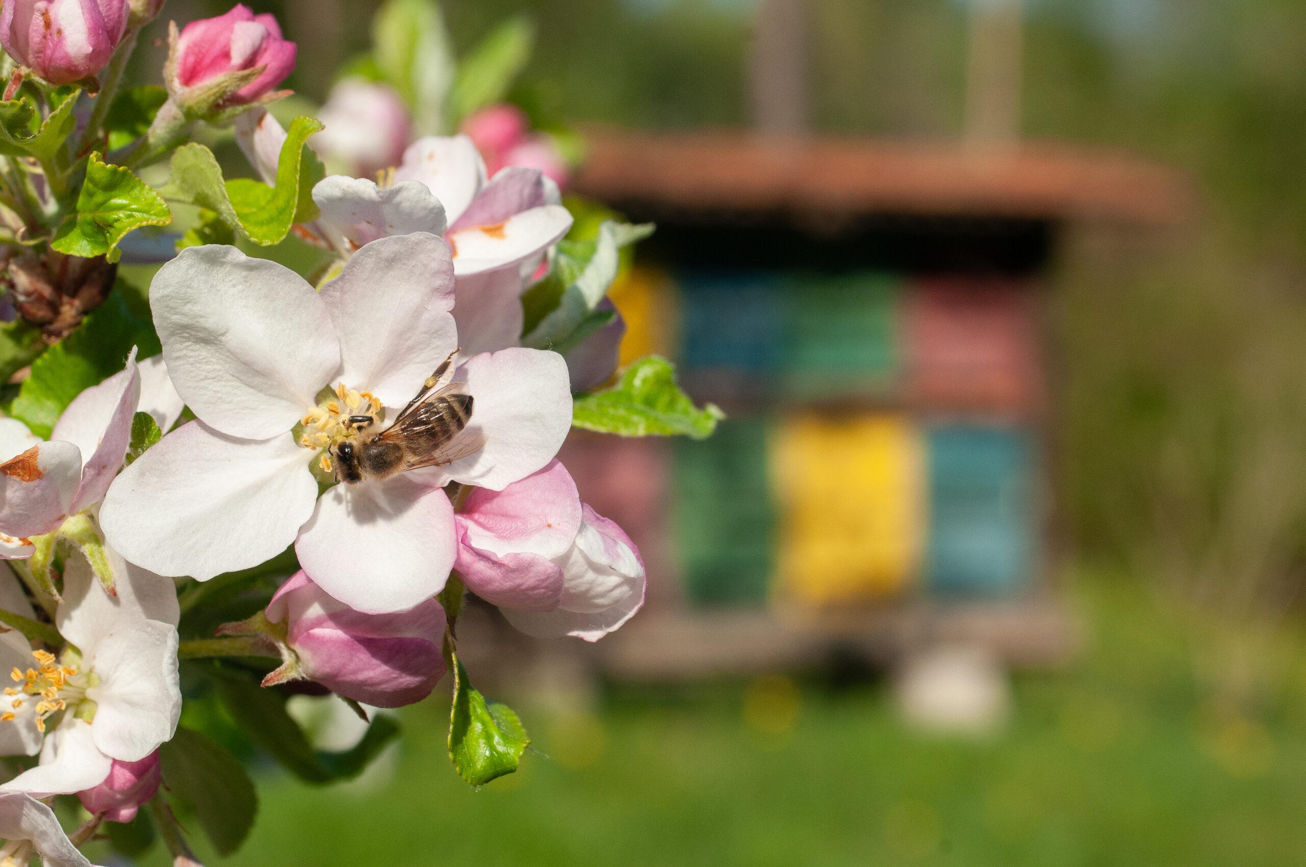 Slovenska čebelarska akademija napoveduje predavanje dr. Petra Kozmusa